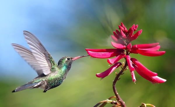 Broad-billed hummingbird snacking o coral bean flower (rare FL Visitor)