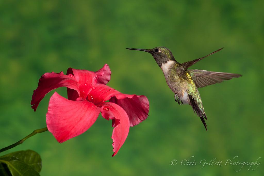 Hummingbird Over Mandevilla 3