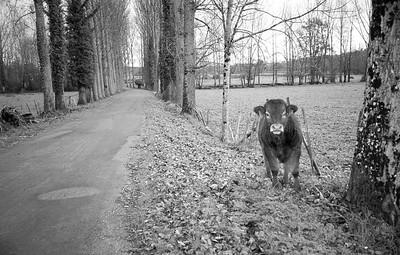 Bourdeilles Cow