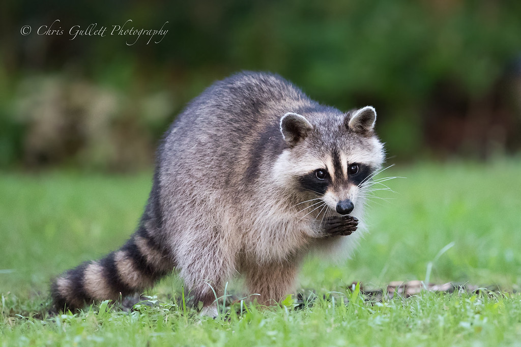 Pious Raccoon
