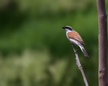 Red-backed Shrike.