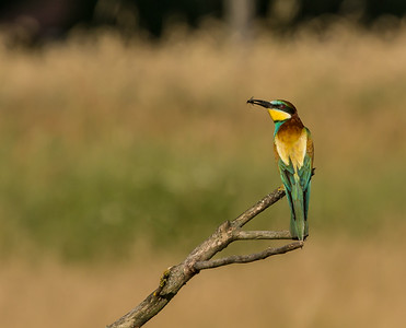 Bee-eater with a fly!!!