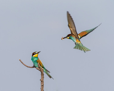 Bee-eaters.