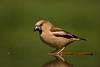 Female Hawfinch. John Chapman.