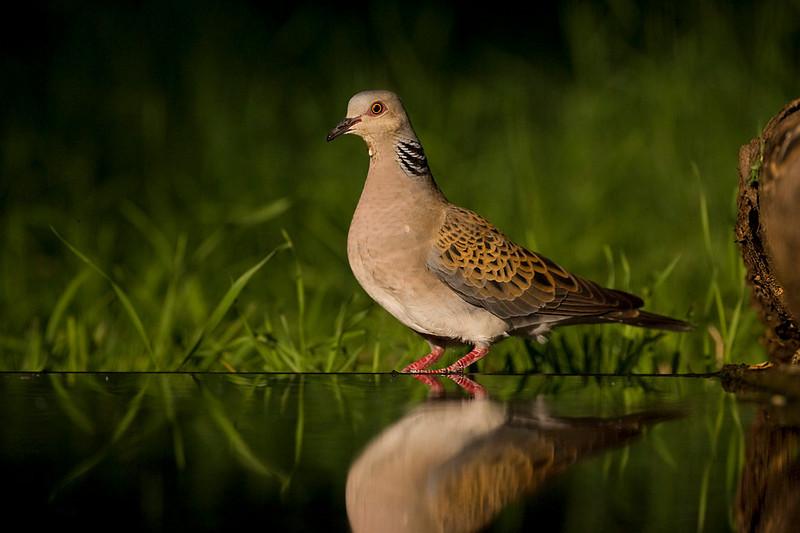 Turtle Dove. John Chapman.