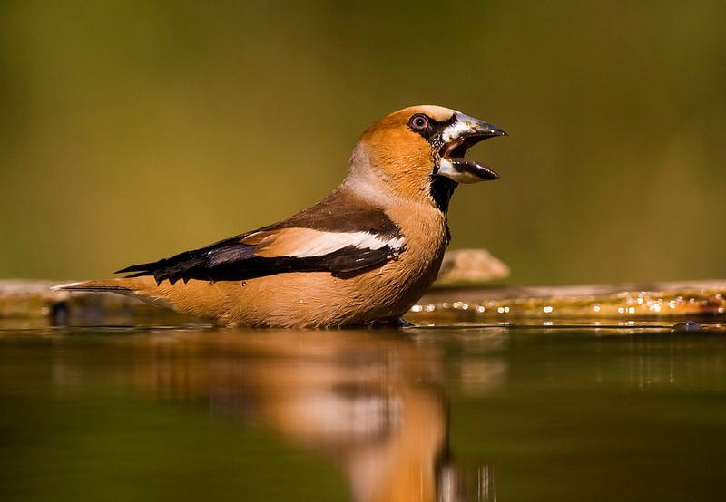 Male Hawfinch. John Chapman.
