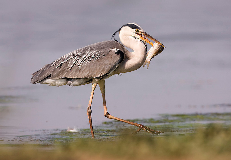 Heron with Fish. John Chapman.