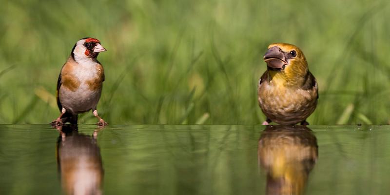Goldfinch.  Female hawfinch.