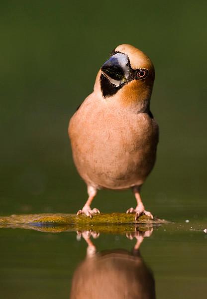 Haw Finch.