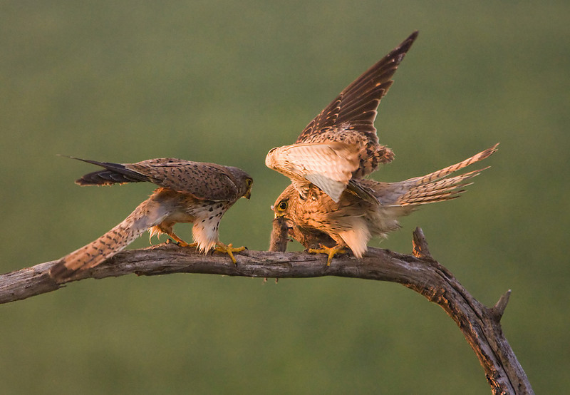 Kestrels with food pass. John Chapman.