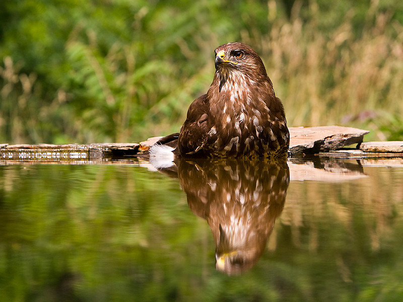 Buzzard bathing. John Chapman.