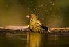 Greenfinch. John Chapman.