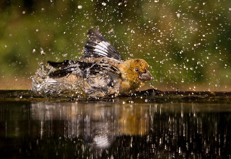 Female Hawfinch Having a Bath. John Chapman.