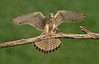 Kestrel with Prey. John Chapman.