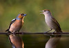 Male Chaffinch and Female Black Cap. John Chapman.