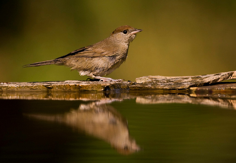 Female Blackcap.