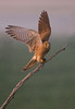 Female Kestrel. John Chapman.