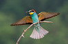 Bee Eater with food. John Chapman.
