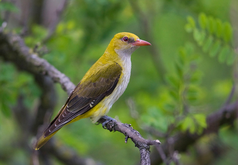 Female Golden Oriole.
