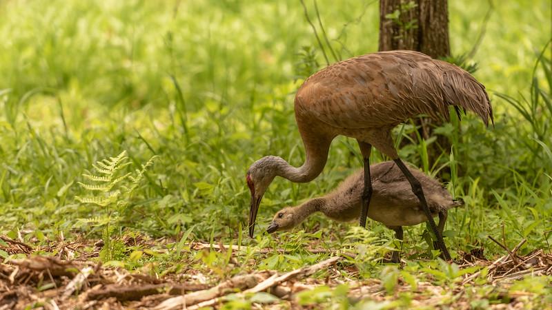Mom Sandhill Crane Teaching Her Adopted Canada Gosling ~ Branta canadensis, Antigone canadensis ~ Kensington Metropark, Michigan