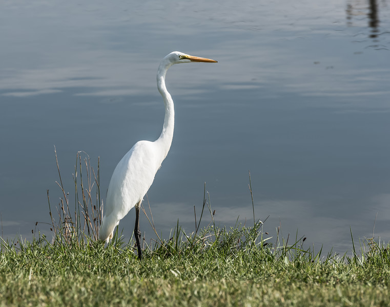 Something of Value ~ Great Egret ~ Ardea alba ~ Huron River and Watershed