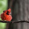 Fluffy Northern Cardinal ~ Cardinalis cardinalis ~ Huron River and Watershed, Michigan
