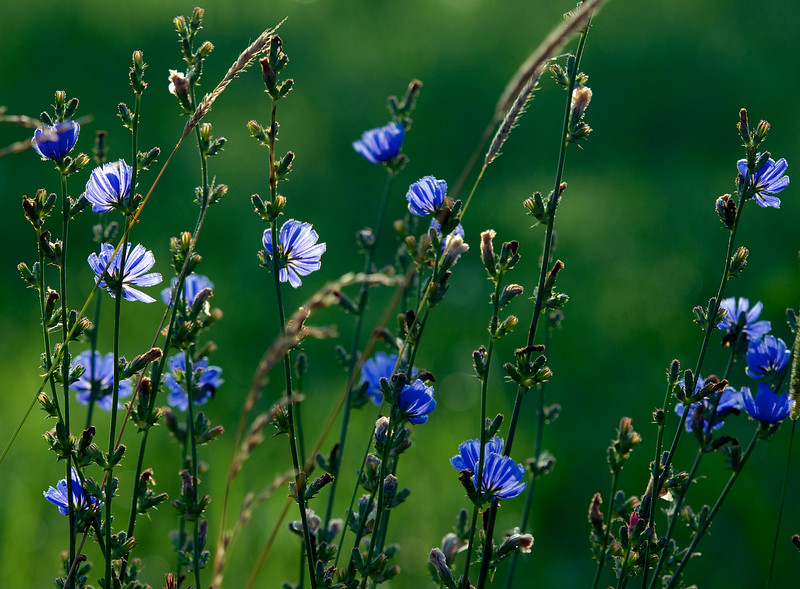 morning blue light ~ wild chicory ~ Michigan