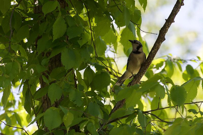 Blue Jay ~ Cyanocitta cristata ~ Huron River Watershed, Michigan
