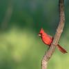 Northern Cardinal, Male ~ Cardinalis cardinalis ~ Huron River and Watershed, Michigan