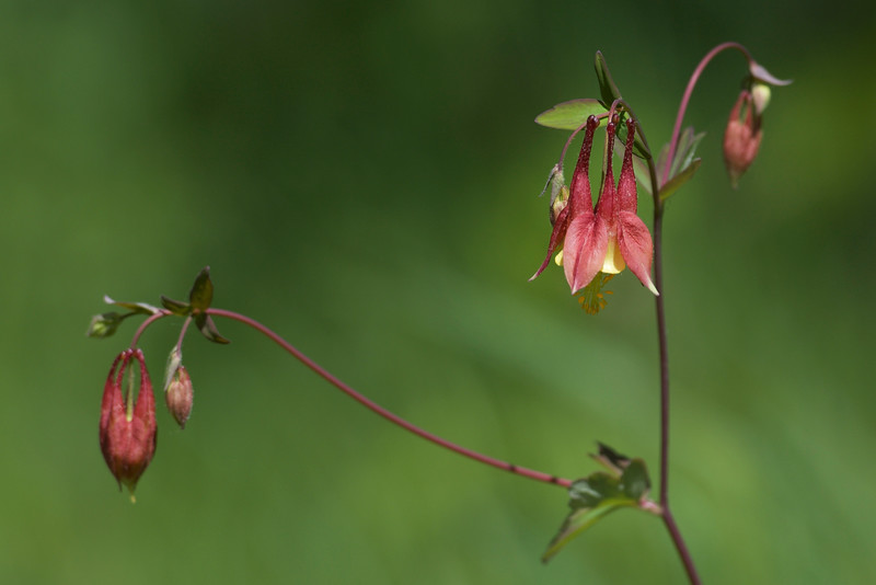 wild Columbine ~ Huron River Watershed, Michigan