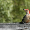 Red-bellied Woodpecker ~ Melanerpes carolinus ~ Huron River and Watershed, Michigan