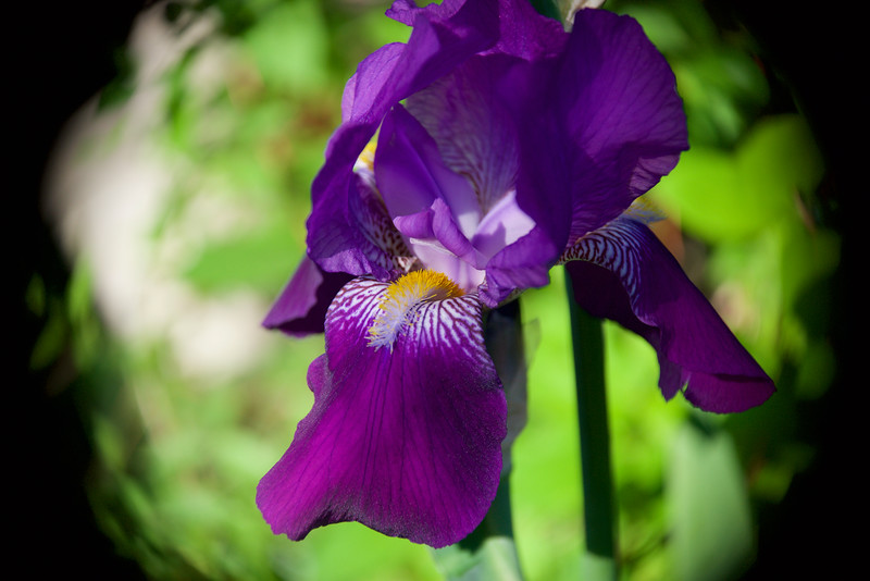 Bearded Iris ~ ~ Huron River and Watershed