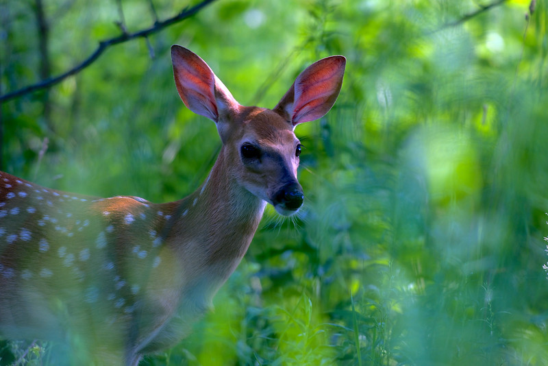 fawn ~ Alex Dow Field (Tall Grass Prairie), Nichols Arboretum, Michigan