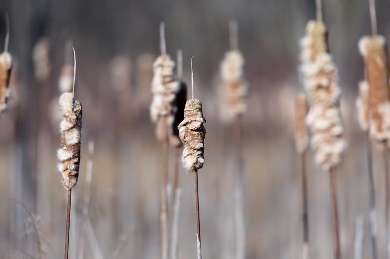 Cattails ~ Huron River and Watershed