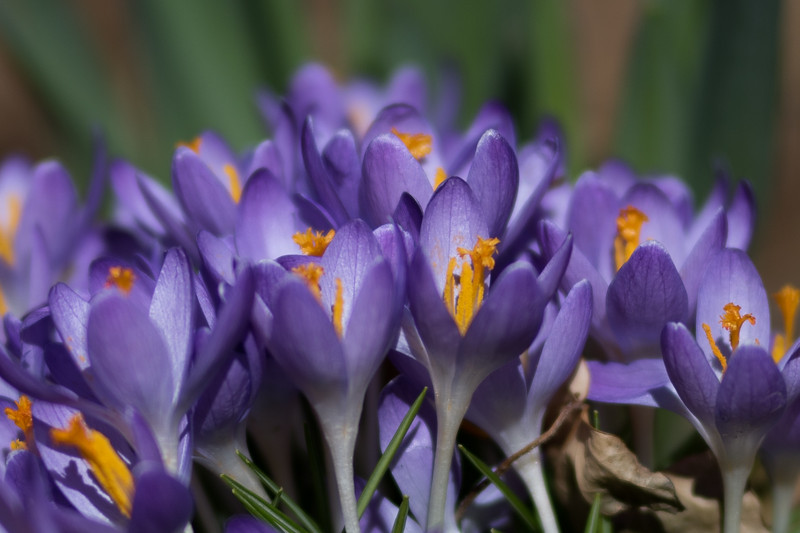stand of crocus ~ Huron River and Watershed