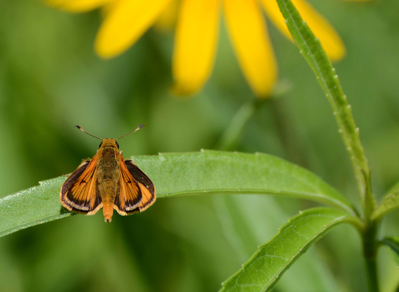 """Delaware Skipper (m) -- Anatrytone togan<br /> <br /> """"As someone that has spent their life studying natural history let me tell you, if you're not still learning, you've died."""" ~ Jim Wiker"""
