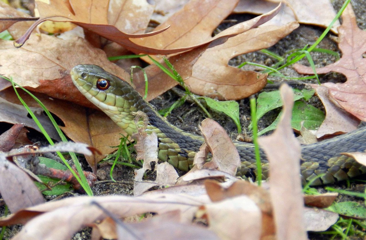 Chicago Garter Snake -- Thamnophis sirtalis semifasciatus<br /> <br /> eye witness <br /> my silhouette <br /> in a snake i