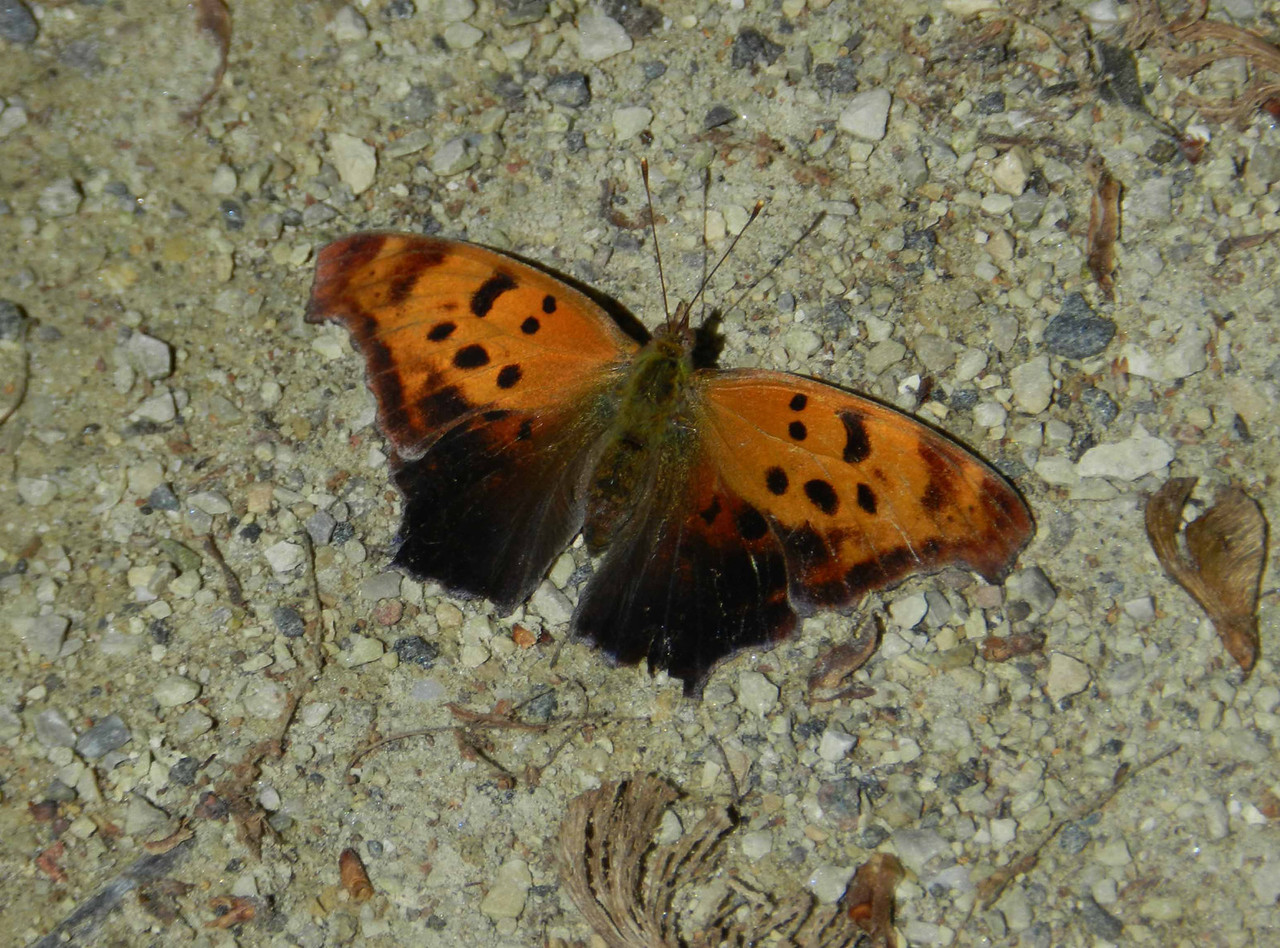 "Eastern Comma -- Polygonia comma<br /> <br /> ""It doesn't really matter, when you go out, if you don't identify anything.  What matters is the feeling heart, and the only point of identifying things is to help you (if it does) to derive more joy and pleasure from them.  One can take as much pleasure in the commonest as in the rarest things."" ~ Richard Adams, 1975."