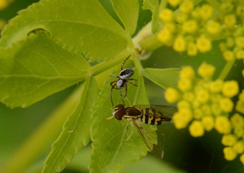 "On a Golden Alexander -- Zizia aurea, a spider immobilizes a hoverfly with a venomous bite to the leg.<br /> <br /> 'The fly against the window pane<br /> That flings itself in flightless flight,<br /> So it loves light,<br /> Will die of love and die in vain.<br /> <br /> Prisoner of the open wall<br /> Where freedom is but turning round,<br /> Still is it bound:<br /> Love barred, there is no way at all.<br /> <br /> My heart against the hard rib bone<br /> Beat like a fly and would not be:<br /> It had gone free<br /> But that the shining world so shone.' ~ ""Captivity of the Fly"" by Archibald MacLeish"