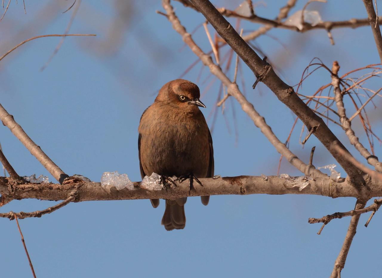 Rusty Blackbird -- Euphagus carolinus