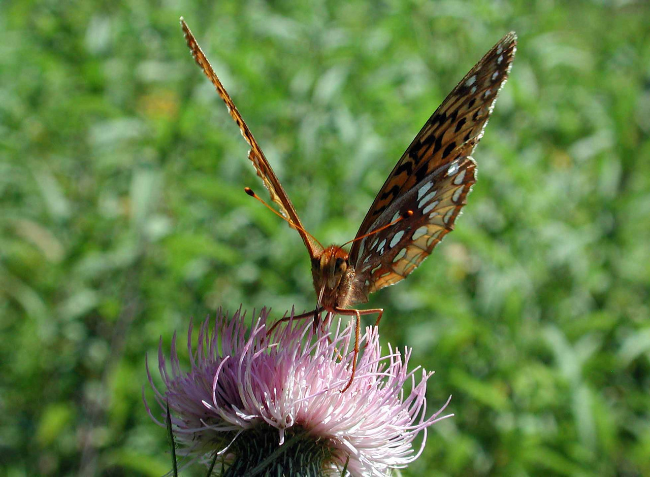 Great Spangled Fritillary (f) -- Speyeria cybele on Field Thistle -- Cirsium discolor<br /> <br /> In 204 BCE Scipio Africanus brought a bust of Cybele from Pessinos and established a cult in Rome, but the name traces back far earlier at least to the Phrygian Cybele, ancient Kubeleyan Mother of the Mountain. Ancient Celts associated thistles with nobility, so perhaps it is not a surprise to find the mother of god's butterfly feeding here.