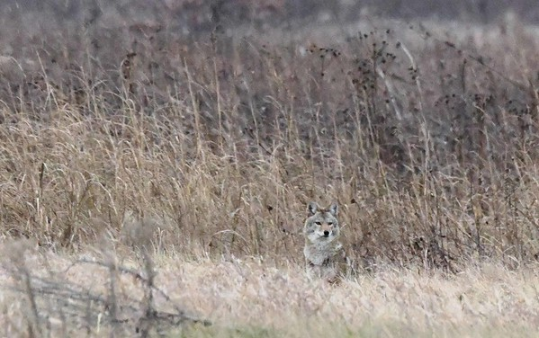 """Coyote -- Canis latrans  """"In nature, things that to us seem good and bad are often two aspects of the same. … They say everyone loves a winner, but we root for underdogs. And here is something I find odd, that among the weak we offer compassion, but among the strong we deride any weakness."""" ~ Carl Safina, """"Eye of the Albatross"""", 2002."""