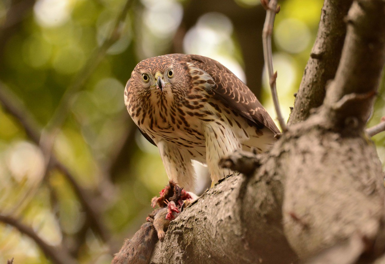 "juvenile Cooper's Hawk -- Accipiter cooperii, with chipmunk prey<br /> <br /> 'The poet reciting to Lady Diana<br /> While the footmen whisper 'Have a banana,'<br /> The judge enforcing the obsolete law,<br /> The banker making the loan for the war,<br /> The expert designing the long-range gun<br /> To exterminate everyone under the sun,<br /> Would like to get out but can only mutter;--<br /> 'What can I do? It's my bread and butter.' ~ from ""On This Island"" by Wystan Hugh Auden, 1936."