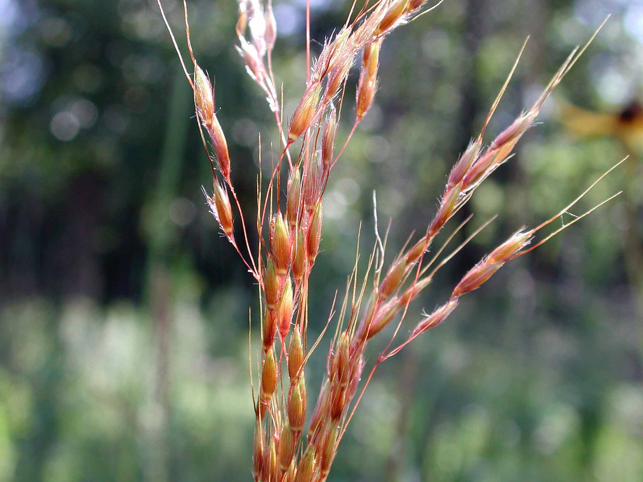 "Indian Grass -- Sorghastrum nutans, in autumn colors<br /> <br /> ""...there is no sprig of grass that shoots uninteresting to me, nor anything else that moves..."" ~ Thomas Jefferson, in a letter to Martha Jefferson Randolph, 12/23/1790.<br /> <br /> ""Our capacity for democracy grows from our connection with nature."" ~ Peter Senge"