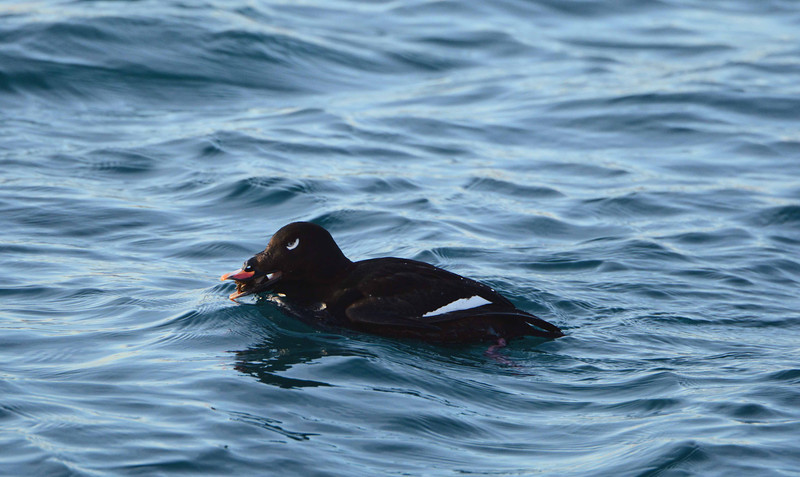 "White-winged Scoters appear to like the Zebra Mussels, and may overwinter on the Great Lakes partly because of their abundance.  <br /> <br /> ""Only by learning to live in harmony with your contradictions can you keep it afloat."" ~ Audre Lorde"