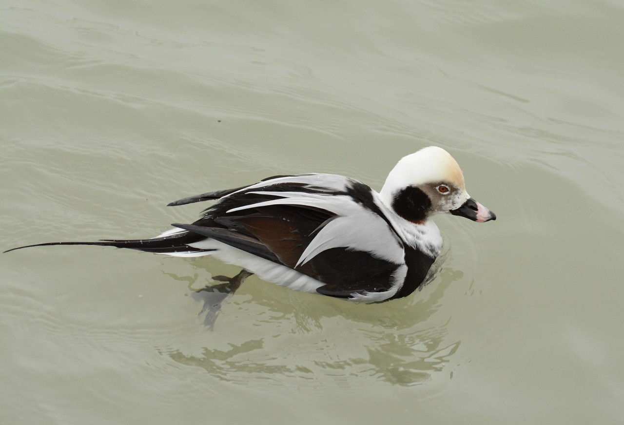 Long-tailed Duck (m) -- Clangula hyemalis, is said to be the deepest diving duck, to about 200' -- fitness counts.<br /> <br />  'I live on hope and that I think do all<br /> Who come into this world.' ~ Robert Bridges, The Growth of Love, Sonnet 63.