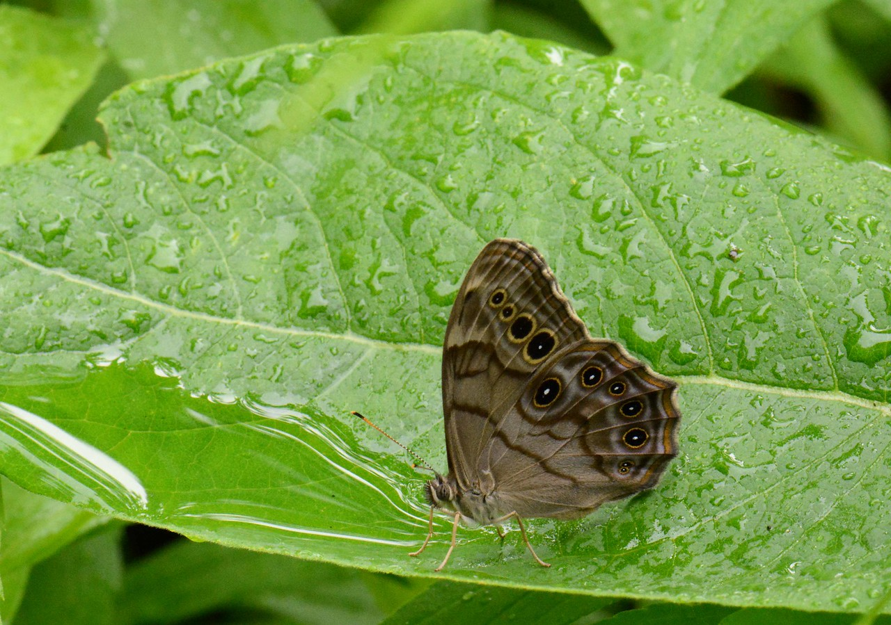 """Northern Pearly-Eye -- Enodia anthedon<br /> <br /> """"Some people walk in the rain, others just get wet."""" ~ Roger Miller"""