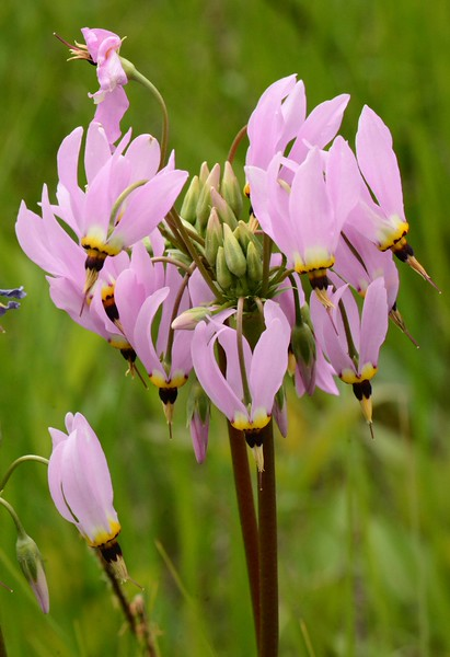 "Shooting Star -- Dodecatheon meadia, takes about 10 years to reach flowering age, blooms late spring.<br /> <br /> 'But I would rather be horizontal.<br /> I am not a tree with my root in the soil<br /> Sucking up minerals and motherly love<br /> So that each March I may gleam into leaf,<br /> Nor am I the beauty of a garden bed<br /> Attracting my share of Ahs and spectacularly painted,<br /> Unknowing I must soon unpetal.<br /> Compared with me, a tree is immortal<br /> And a flower-head not tall, but more startling,<br /> And I want the one's longevity and the other's daring.' ~ from ""I am Vertical"" by Sylvia Plath"