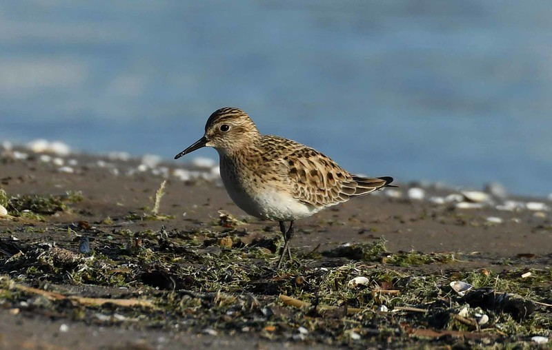 Baird's Sandpiper -- Calidris bairdii, long distance migrant fueling up before continuing on to northern breeding grounds