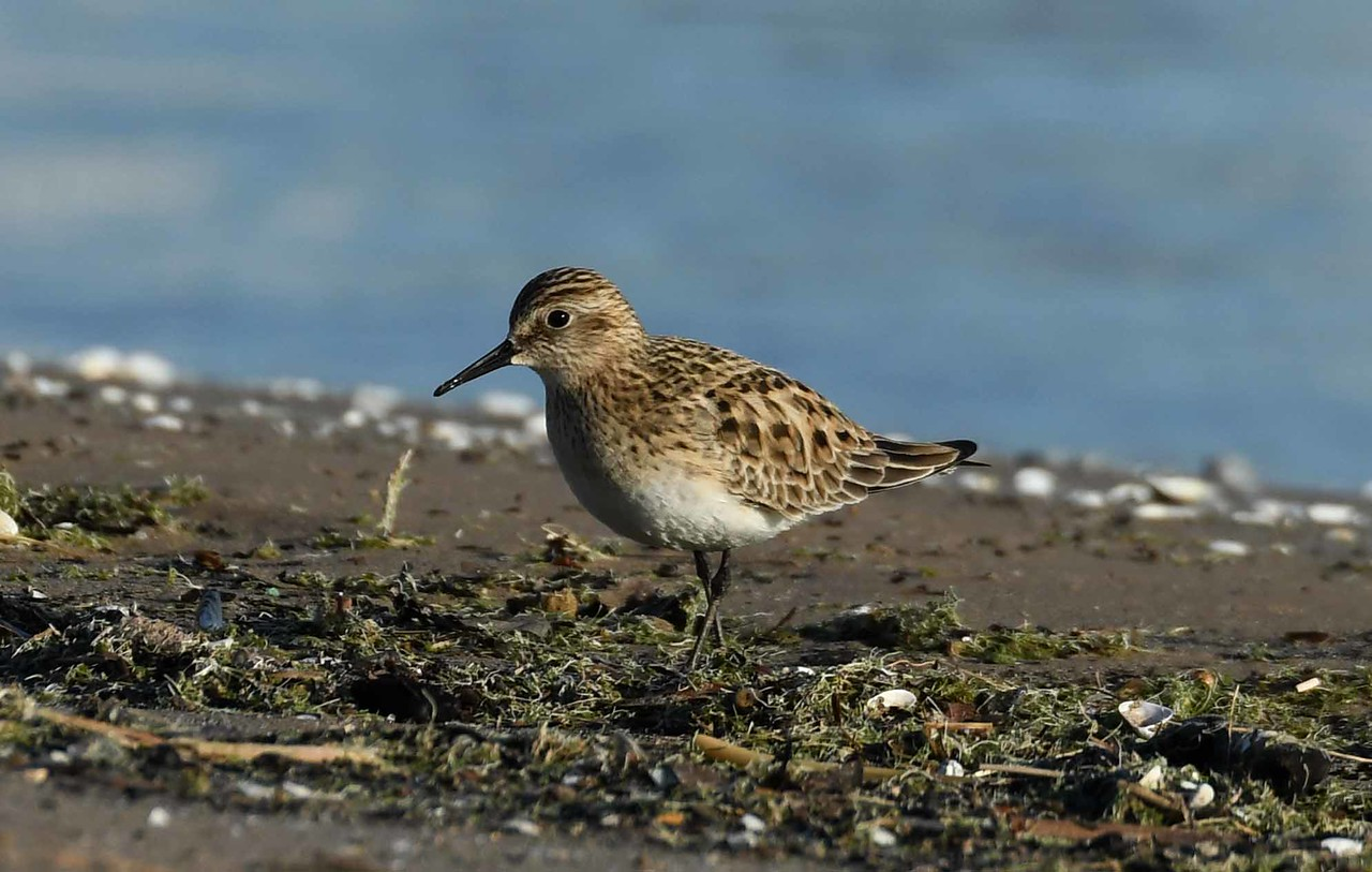 Baird's Sandpiper -- Calidris bairdii, long distance migrant on the journey to far northern breeding grounds
